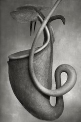 2019 Group Show: Beth Moon – Nepenthes Bicalcarata