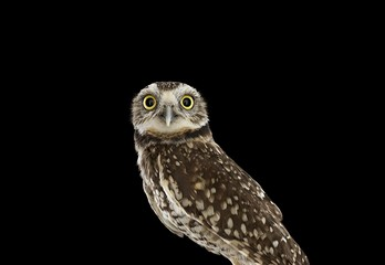 Brad Wilson: Burrowing Owl #1, Espanola, NM, 2013