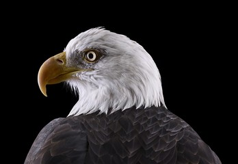 Brad Wilson: Bald Eagle #1, Espanola, NM, 2011