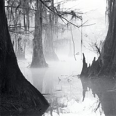 David H. Gibson: Knee Reflections, Mill Pond, Caddo Lake, Texas, 1988
