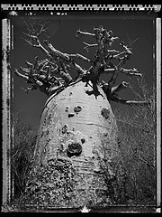 Elaine Ling: Baobab, Tree of Generations #28, 2010