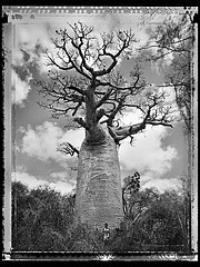 Elaine Ling: Baobab, Tree of Generations #30, 2010