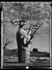 Elaine Ling: Baobab, Tree of Generations #31, 2010