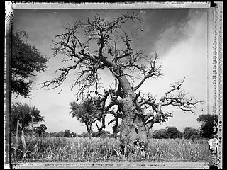 Elaine Ling: Baobab, Tree of Generations #2