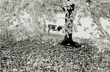 Elaine Mayes: Autumn Trees and Cow, Hadley  MA, 1975