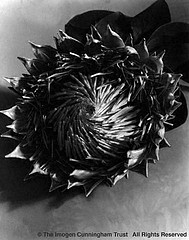 Imogen Cunningham: Blossom of Protea, 1935