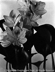 Imogen Cunningham: Blossom of Water Hyacinth, '20s