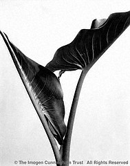 Imogen Cunningham: Calla Leaves, late 20's
