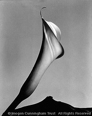 Imogen Cunningham: Calla with Leaf, late 1920s