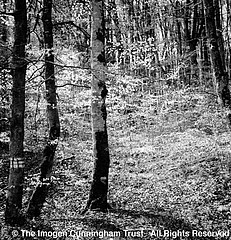 Imogen Cunningham: French Forest, 1960