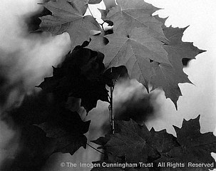 Imogen Cunningham: Maple Leaf Pattern, 1932