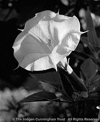 Imogen Cunningham: Morning Glory, 1921