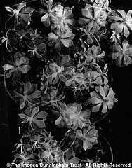 Imogen Cunningham: Nine Bowls of Echeveria, 1930