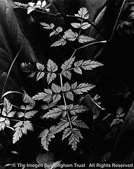 Imogen Cunningham: Leaves 2, 1948
