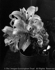 Imogen Cunningham: Lily, 1960