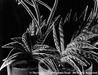 Imogen Cunningham: One Aloe Twice, 1925