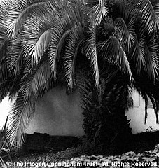 Imogen Cunningham: Palm Tree @1331 Green St