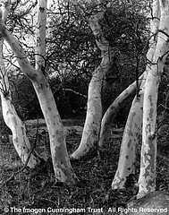Imogen Cunningham: Sycamore Trees, 1923