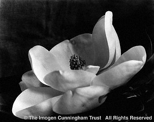 Imogen Cunningham: The First Magnolia, 1923