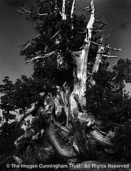 Imogen Cunningham: Tree at Donner Pass, 1925