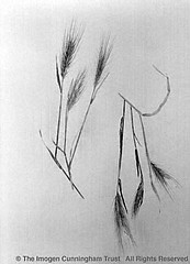 Imogen Cunningham: Wheat Design, 1950