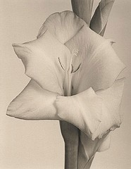 James Pitts: Gladiola