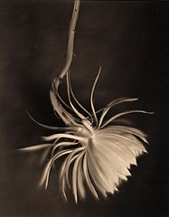 James Pitts: Night Blooming Cereus, 1999