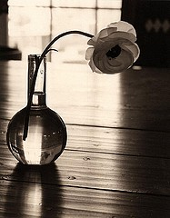 James Pitts: Ranunculus (clear vase, backlit on kitchen table), 1997