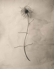 James Pitts: Dried Clematis Blossom, 1995