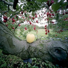 Jane Alden Stevens: Rejected Apple, Fall, Aomori Prefecture