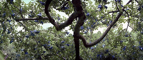 Jane Alden Stevens: Bagged Apple Tree, Early Summer, Aomori Prefecture
