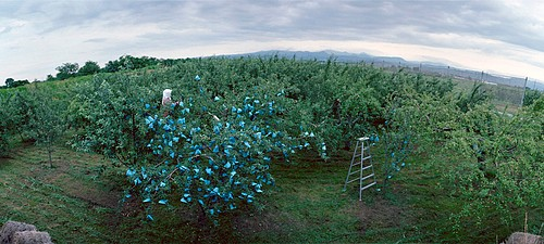 Jane Alden Stevens: Putting Bags on Apples #1, Early Summer, Aomori Prefecture
