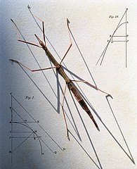 Jo Whaley: Phasmid