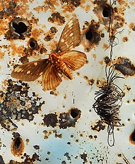 Jo Whaley: <i>Citheronia regalis</i>