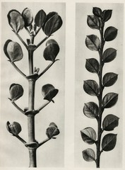 Karl Blossfeldt: Plate 113 - a.Zygophyllum fabago, Common Cotoneaster b. Cotoneaster integer