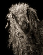 Kevin Horan: Goats and Sheep: A Portrait Farm