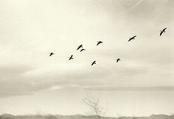 Kevin O'Connell: Geese, 2001