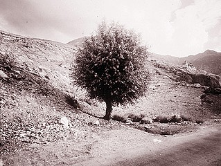 Linda Connor: Tree, Nubra, Ladakh, India, 1998