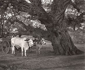 Elvira Piedra: Waiting Under a Tree, Pagan, Burma, 2002