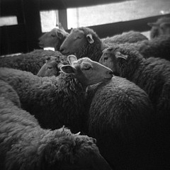 Meg Birnbaum: Sheep Shot, 2006