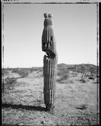 Mark Klett: Saguaro Portraits