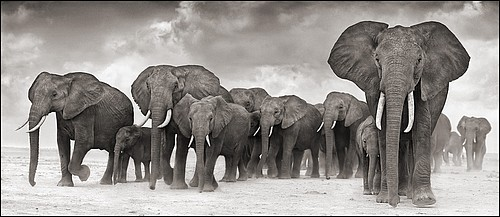 Nick Brandt: Elephants On The Move, Amboseli, 2006