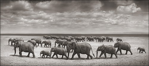 Nick Brandt: Elephant Herds Crossing Lake Bed in Sun, Amboseli, 2008