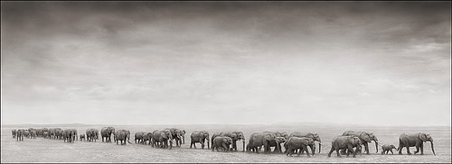 Nick Brandt: Elephant Train, Amboseli, 2008
