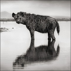 Nick Brandt: Hyena in Water, Amboseli 2010