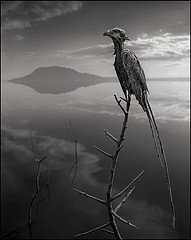 Nick Brandt: Calcified Mousebird, Lake Natron 2010