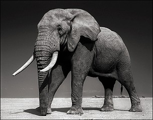 Nick Brandt: Elephant with Half Ear, Amboseli 2010