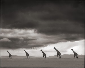 Nick Brandt: Giraffes on Lake Bed, Amboseli, 2012