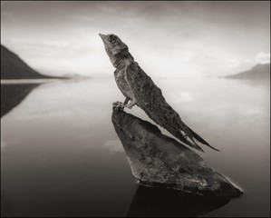 Nick Brandt: Calcified Swallow, Lake Natron, 2012