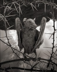 Nick Brandt: Calcified Bat II, Lake Natron, 2012